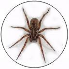 wolfe spider, pest control, hoover, homewood, vestavia, pelham, helena, alabaster,